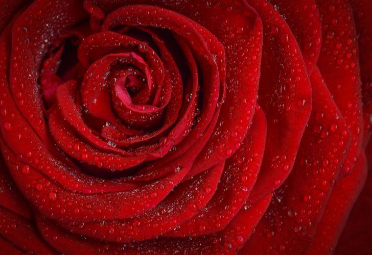 Rose Flower red drops wallpaper