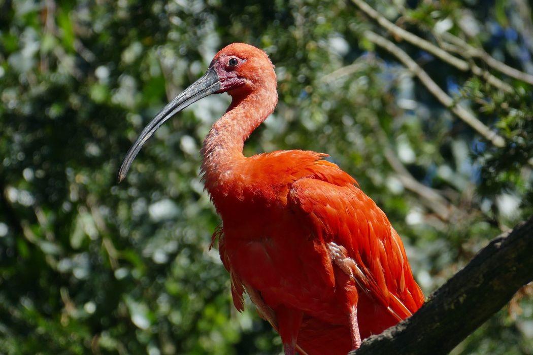 Exot Animal Red Zoo Feather Creature Bird crane wallpaper