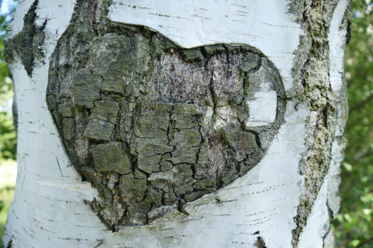 Birch Tree Bark Heart Love mood wallpaper