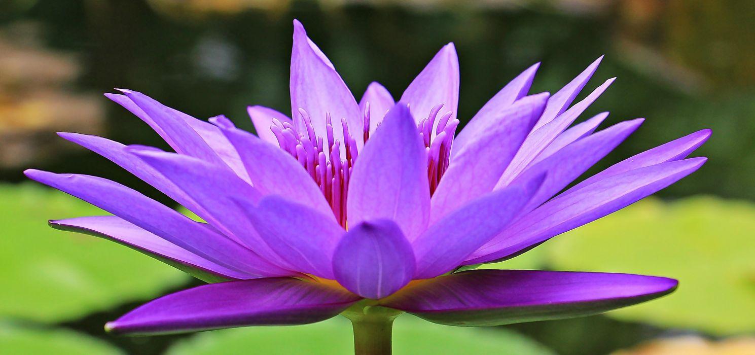 Water Lily Nuphar Lutea Aquatic Plant Blossom Bloom wallpaper