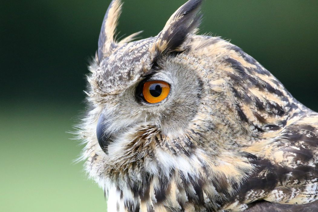 Eurasian Eagle Owl Owl Eurasian Wildlife Bird wallpaper
