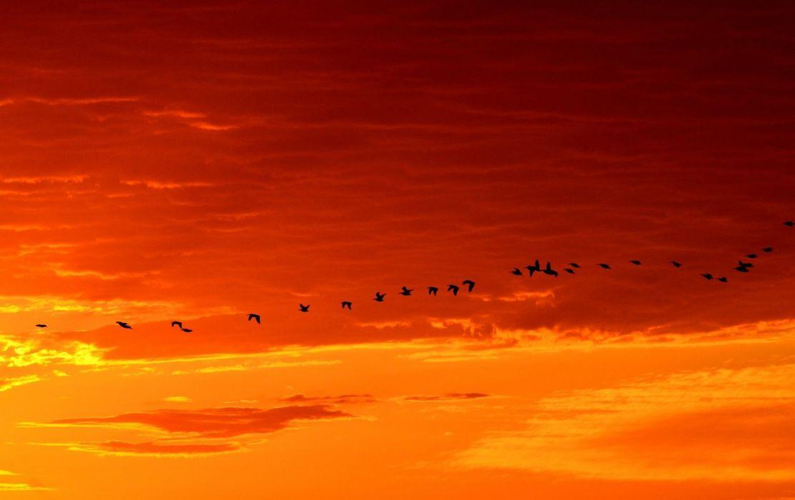 Geese Flying Sunrise Wildlife Birds Nature Flight wallpaper
