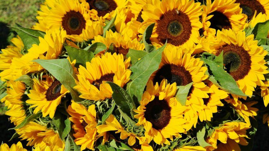 Sunflower Field Bouquet Flora wallpaper