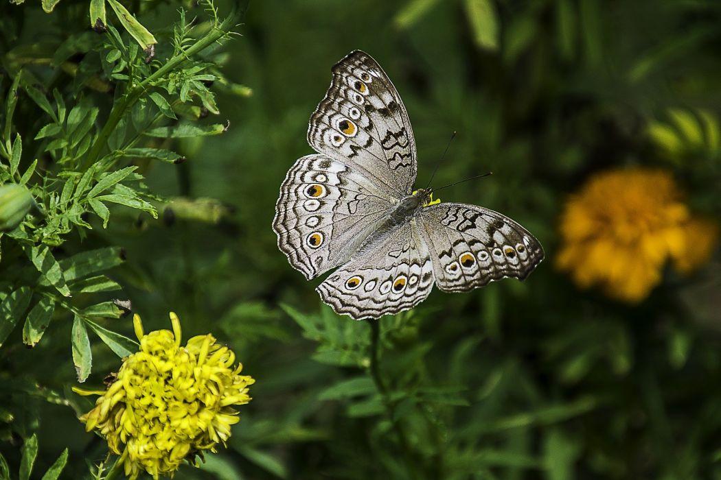 Butterfly Thailand wallpaper