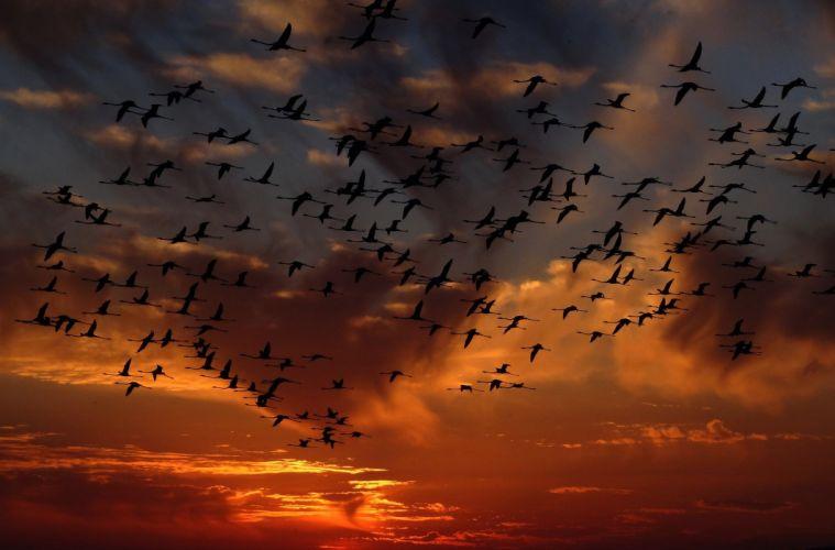 Flamingo Swarm Birds Nature wallpaper