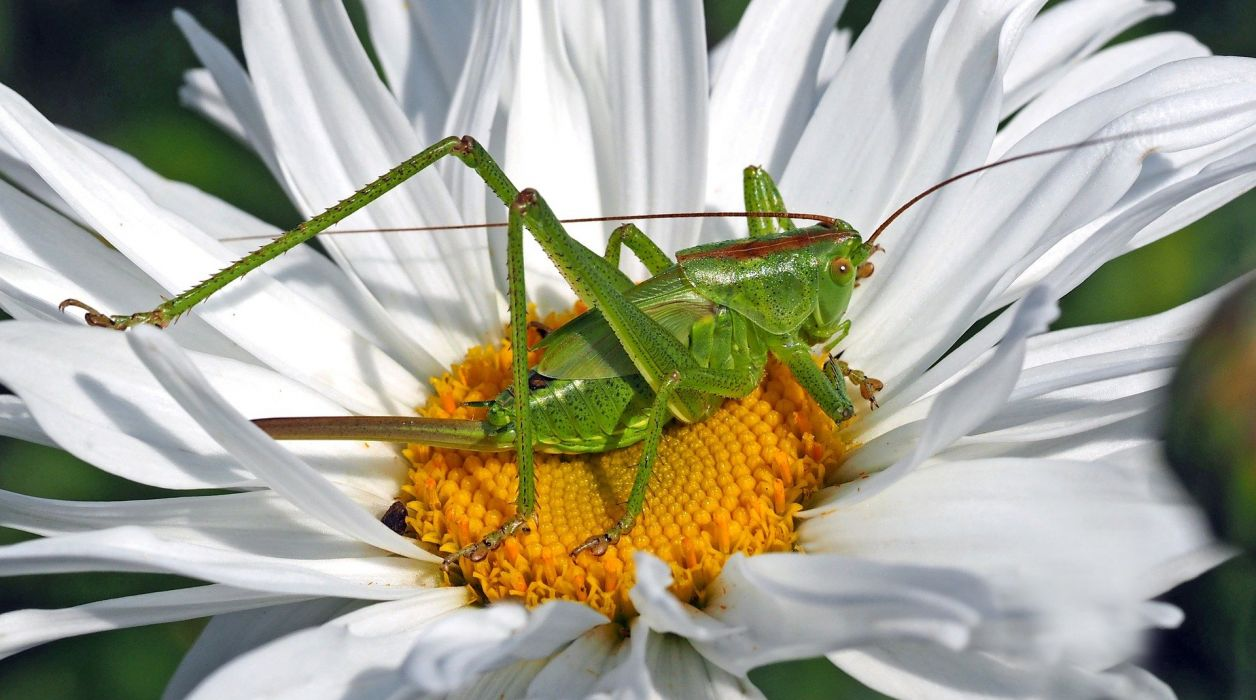 Insect Nature cricket grasshopper wallpaper