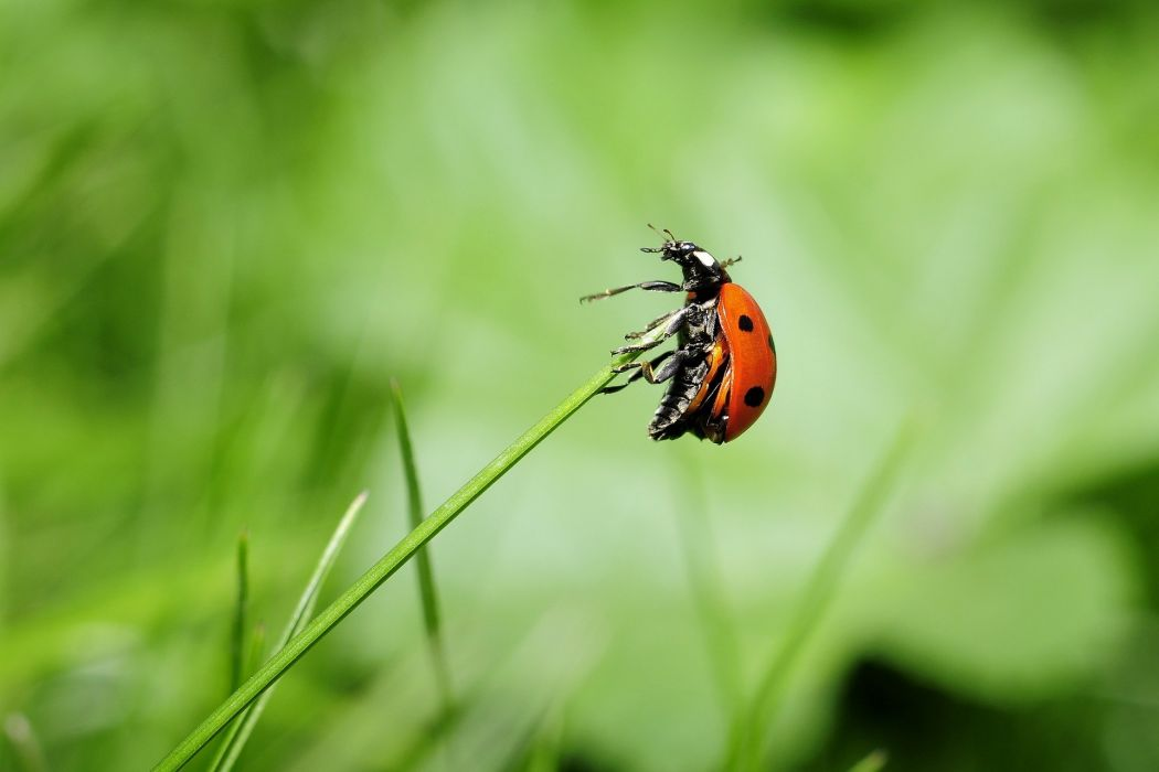 Ladybug Insect Nature wallpaper