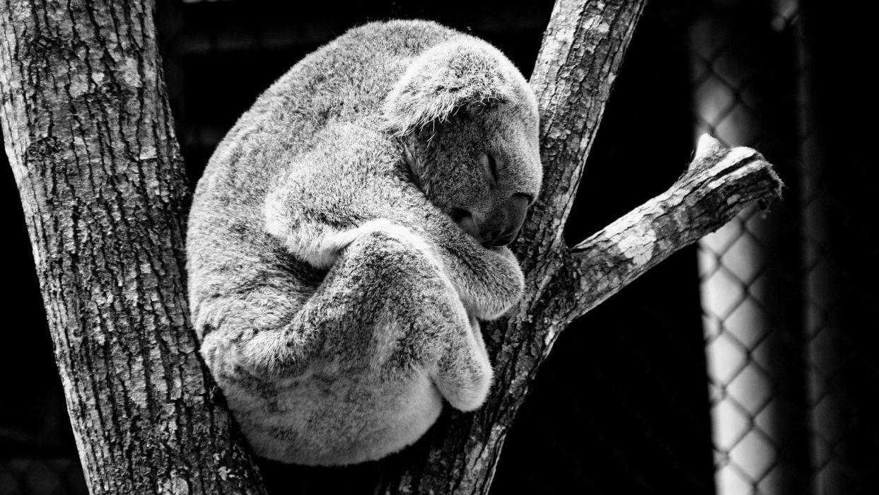 Animal Koala Nature wallpaper