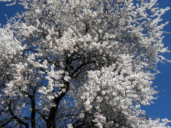 Almond Flower Alentejo Nature blossom wallpaper