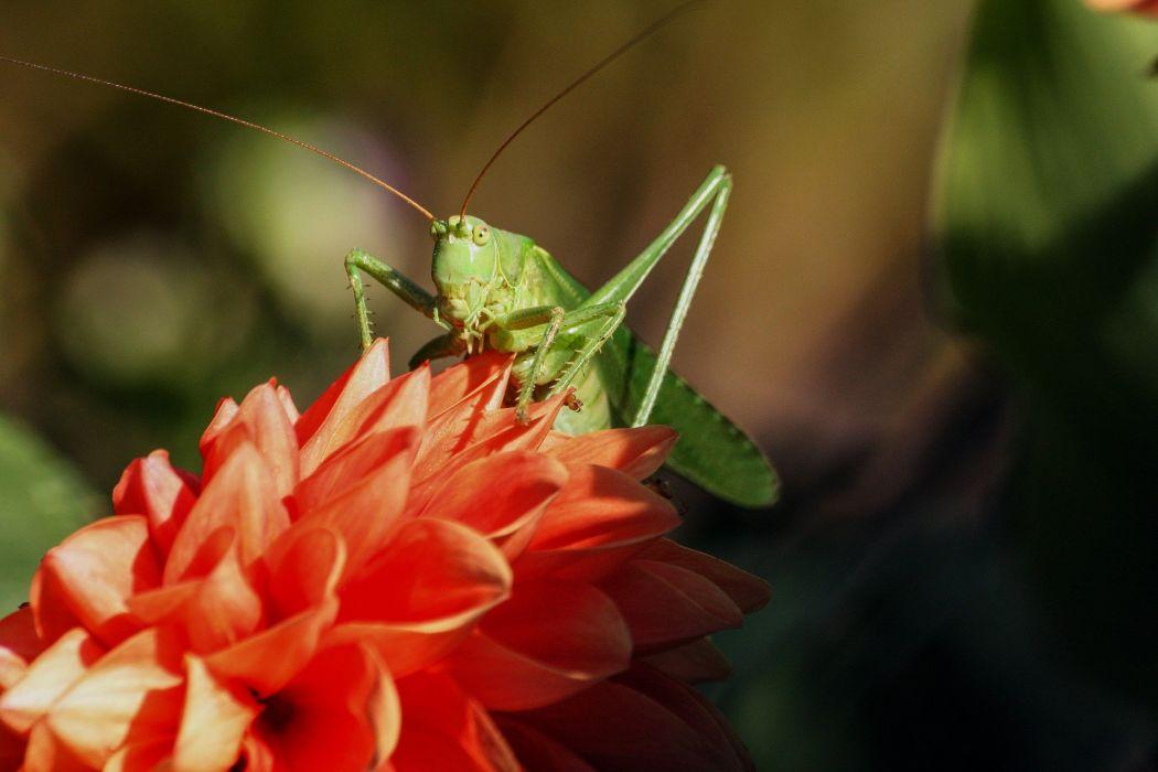Grasshopper Insect Viridissima Nature wallpaper