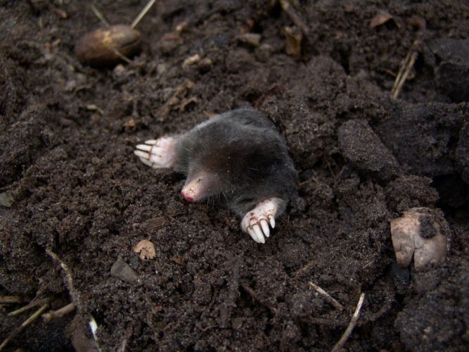 Mole Nature Animal rodent wallpaper
