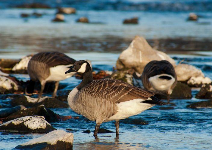 Canada Goose Birds Nature geese wallpaper