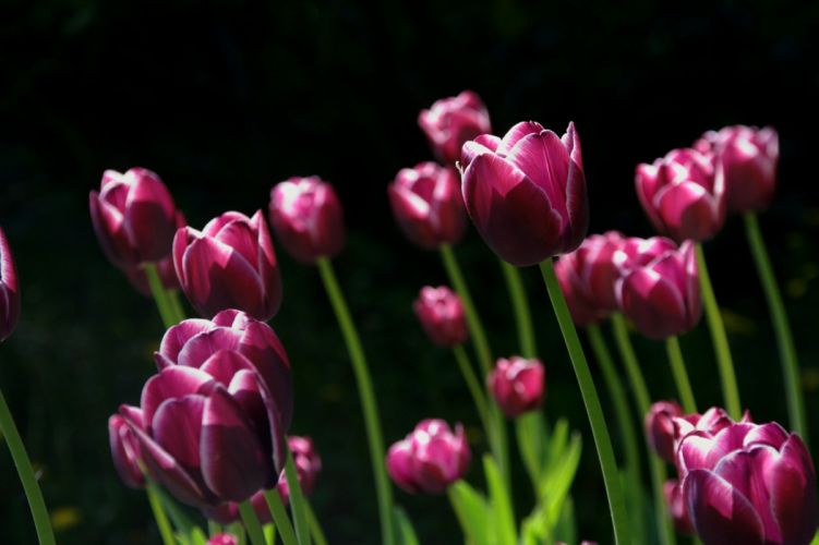 Spring Flower Tulips Nature wallpaper
