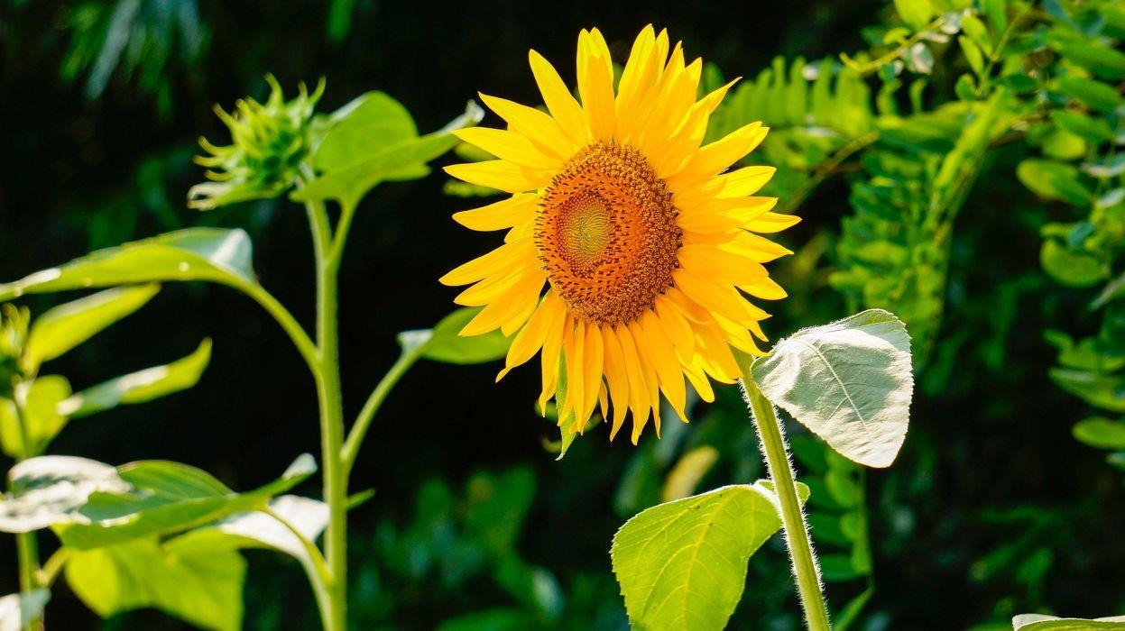 Sunflower Nature Flowers wallpaper