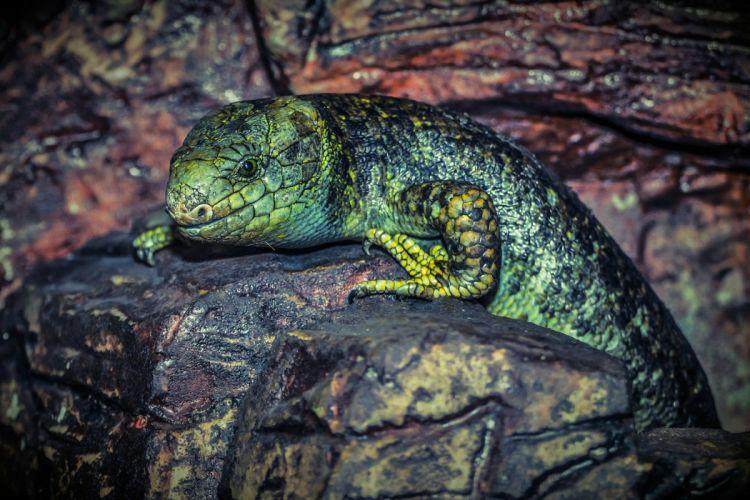 Lizard Reptile Green Animal Nature wallpaper