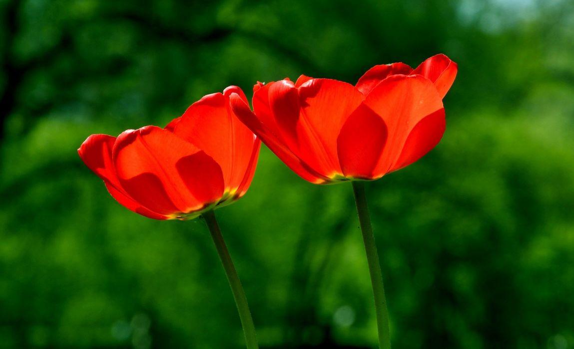 Spring Tulip Flower Nature Beauty wallpaper