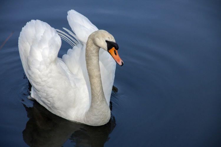 Swan Water Bird Nature Water wallpaper