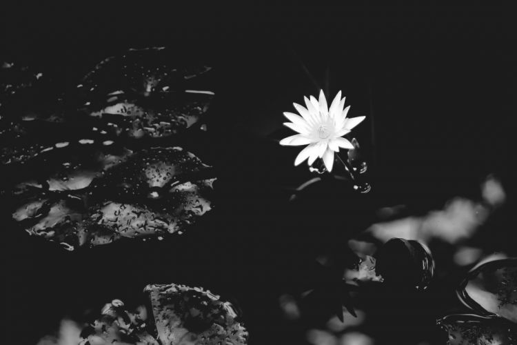 Lily Water Nature Flower White black white wallpaper