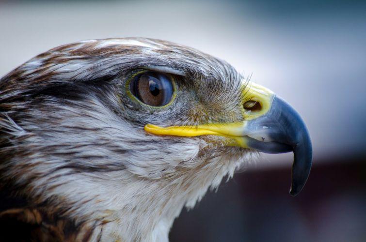 Bird Falcon Nature Beak Predator wallpaper