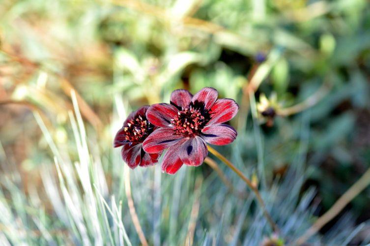 Garden Chocolate Flower Flowers Nature wallpaper