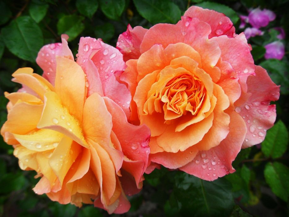 Rose Nature Flower Flowers Spring drops wallpaper