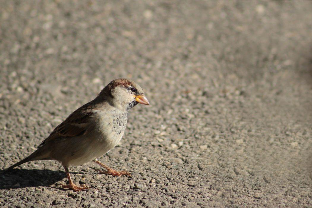 Sparrow Bird Animal Nature Songbird wallpaper