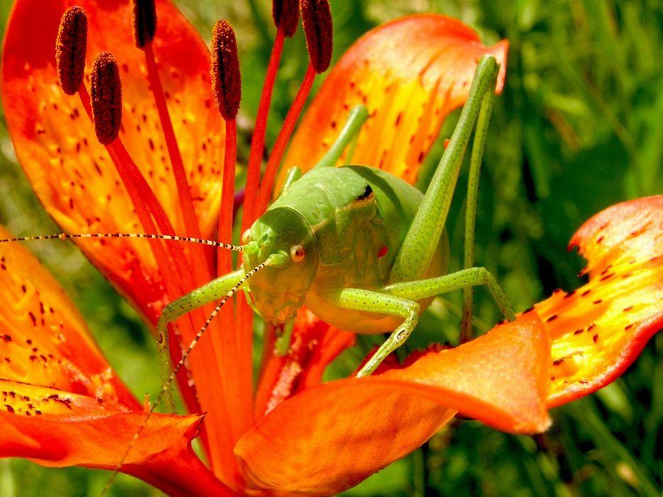 Grasshopper Martagon Lily Flowers Nature wallpaper