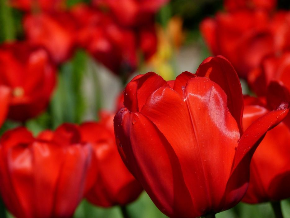 Tulips Flower Nature Spring Red wallpaper