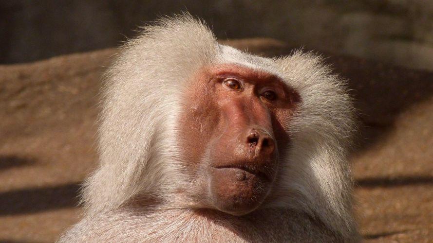 Baboon Monkey Animal Nature Zoo wallpaper