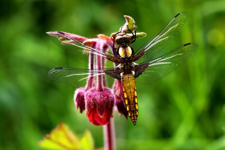 Macro Nature Flowers dragonfly wings detail wallpaper