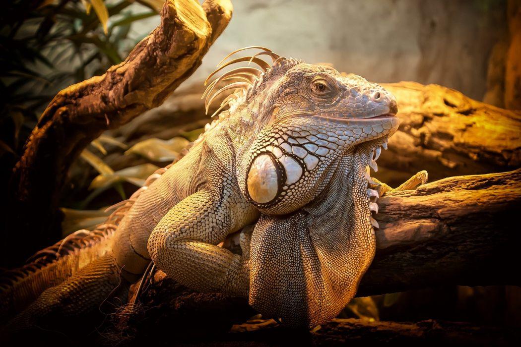 Lizard Close Nature Reptile Animal Creature iguana wallpaper
