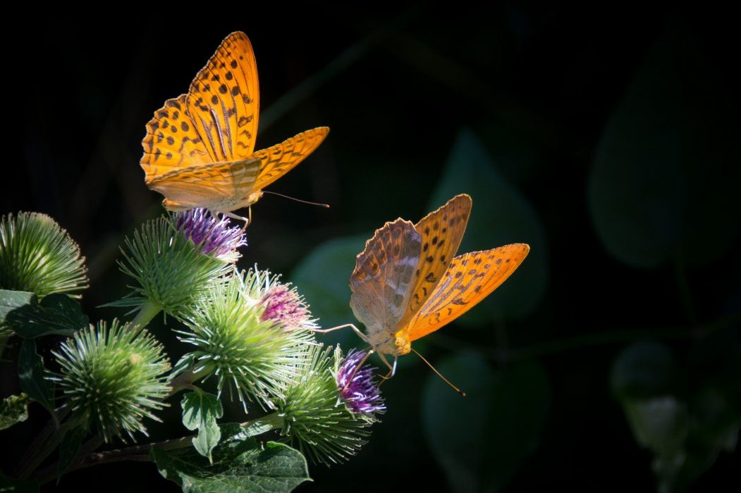 Silver-Bordered Fritillary Butterfly Nature Orange wallpaper