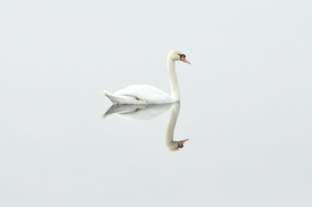 Swan Bird Nature Water Bird Mirror Image reflection mood wallpaper