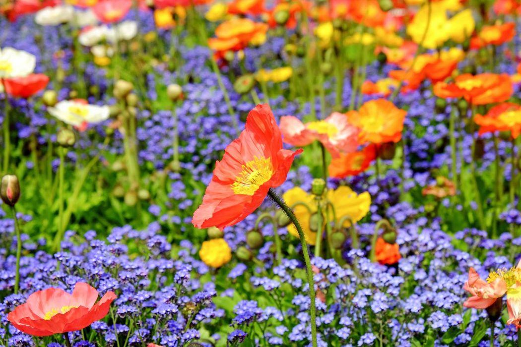 Poppy Flower Blossom Bloom Red Field Nature wallpaper