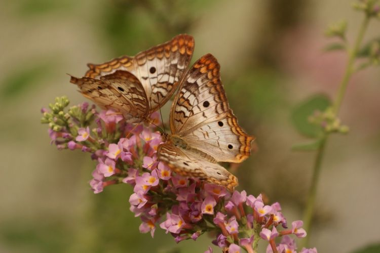 Butterfly Macro Insects Nature Couple Flower wallpaper