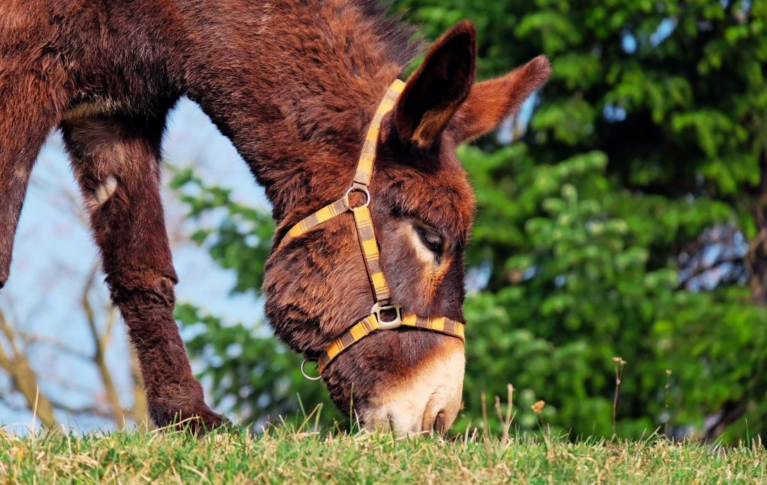 Donkey Mule Animal wallpaper