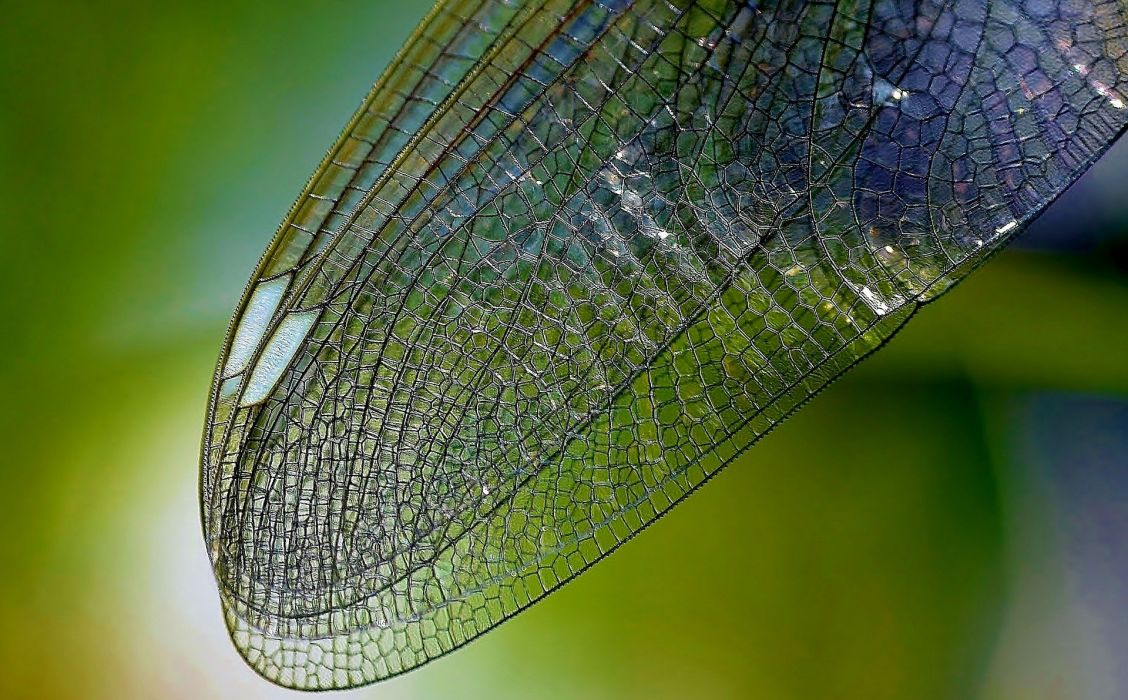 Dragonfly Wings Nature Close Insect Wing Texture detail wallpaper