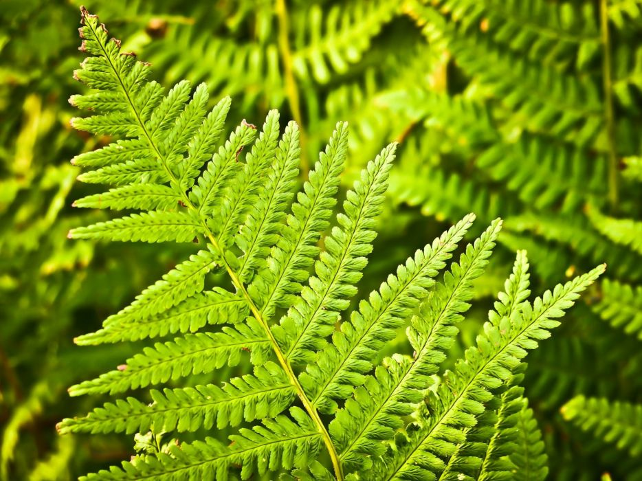 Fern Nature Green Plant Forest Leaves Flora wallpaper