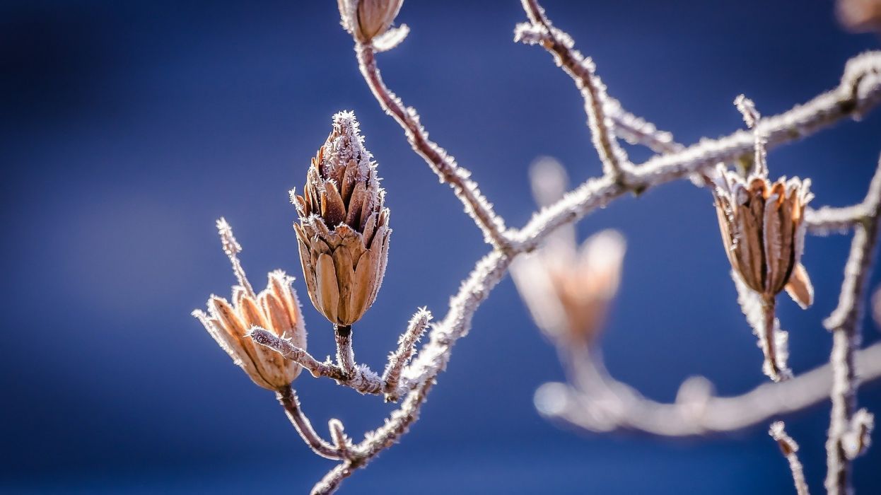 Winter Nature Bud Branch Frost wallpaper