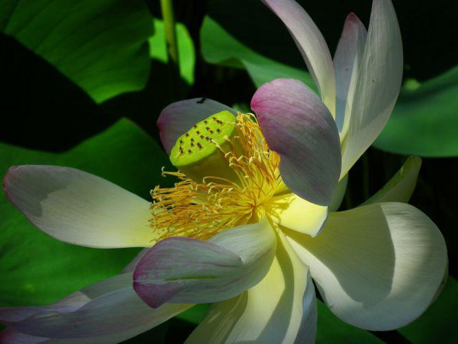 Lotus Flower Pink Nature Aquatic Plant wallpaper