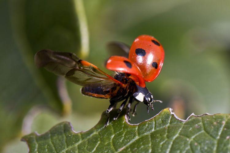 Ladybug Flight Beetle Insect Macro Nature wallpaper