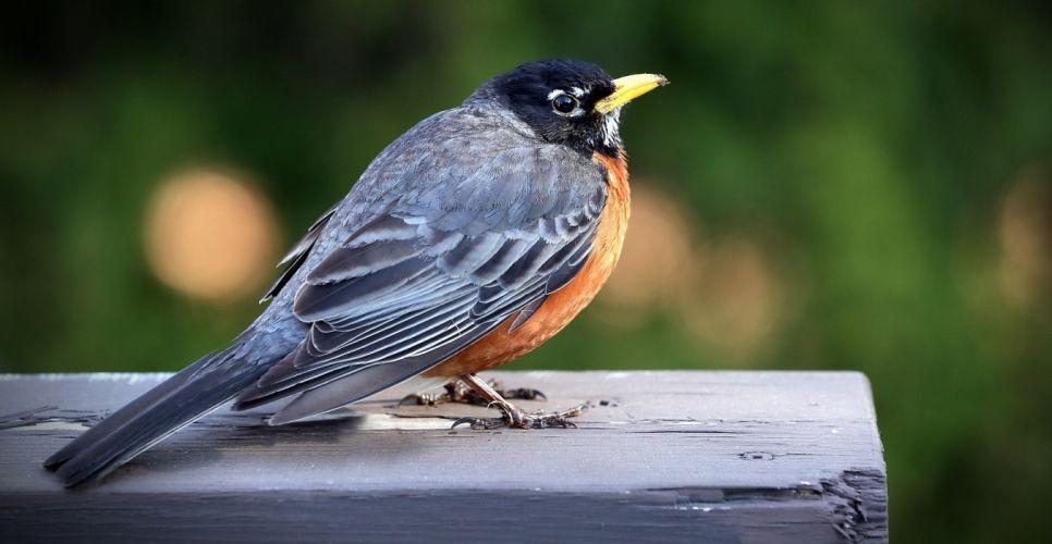 Merle Bird Nature Animal robin wallpaper