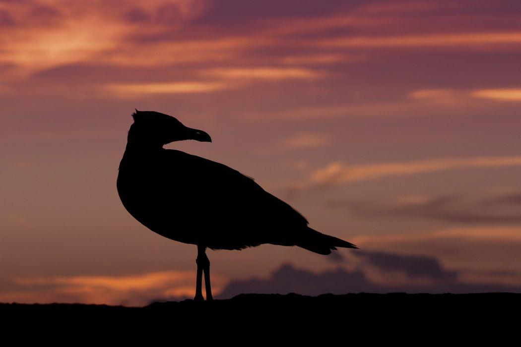 Seagull Sunset Nature Bird Orange Twilight wallpaper