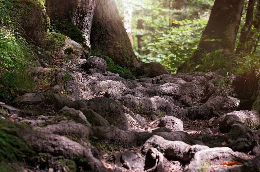 Path Root Forest Nature wallpaper
