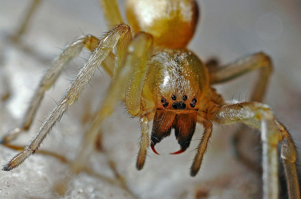 Spider Arachnid Macro Nature Animal Predator Bug detail wallpaper