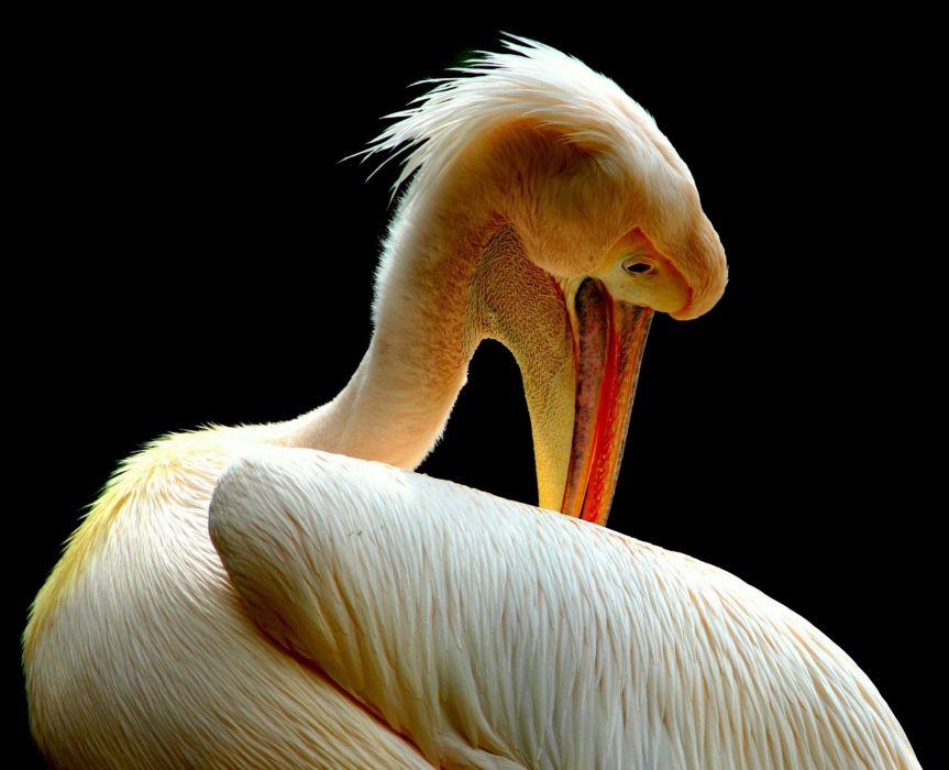 Pelican Birds Nature Animal Beak Feathers wallpaper