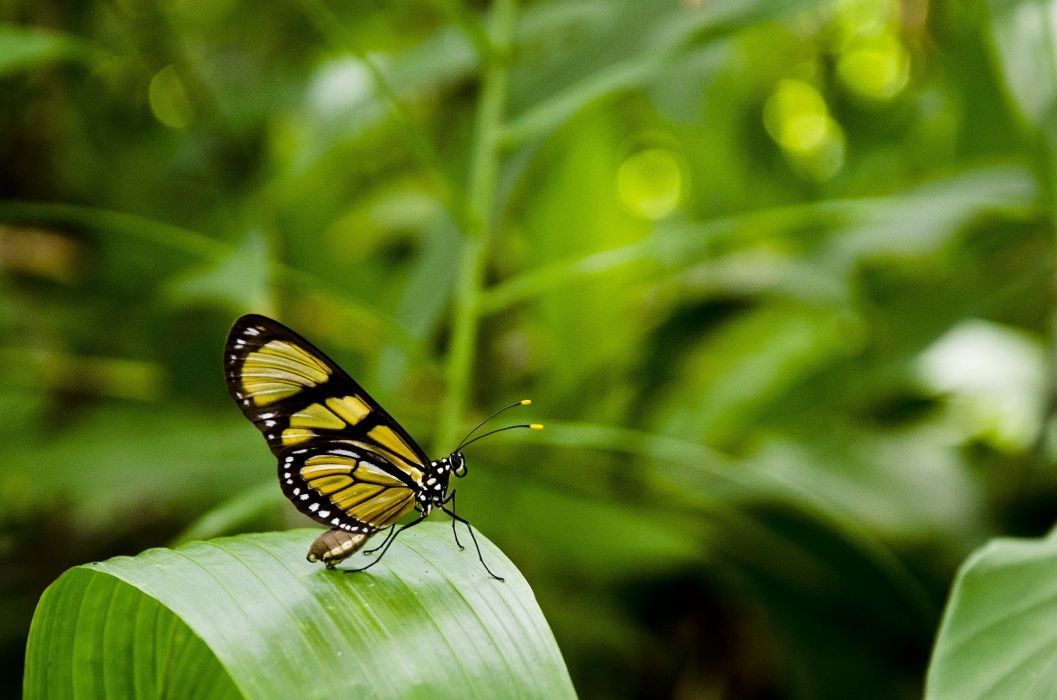 Butterfly Leaf Anima Nature Plants Green wallpaper