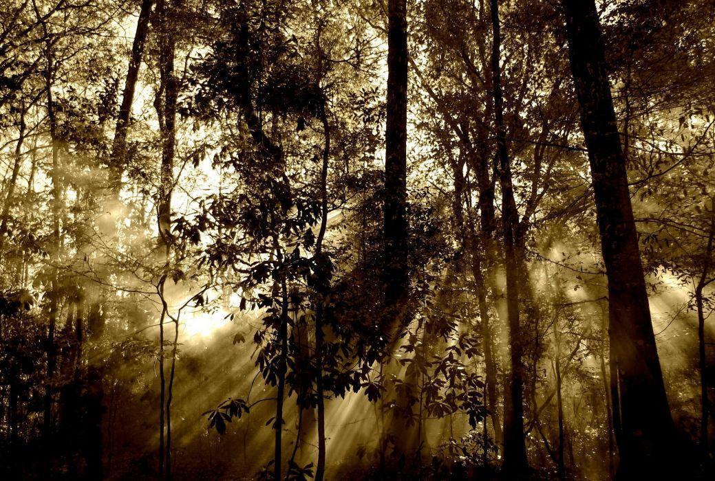 Forest Sun Rays Fog Nature Tree Beam wallpaper