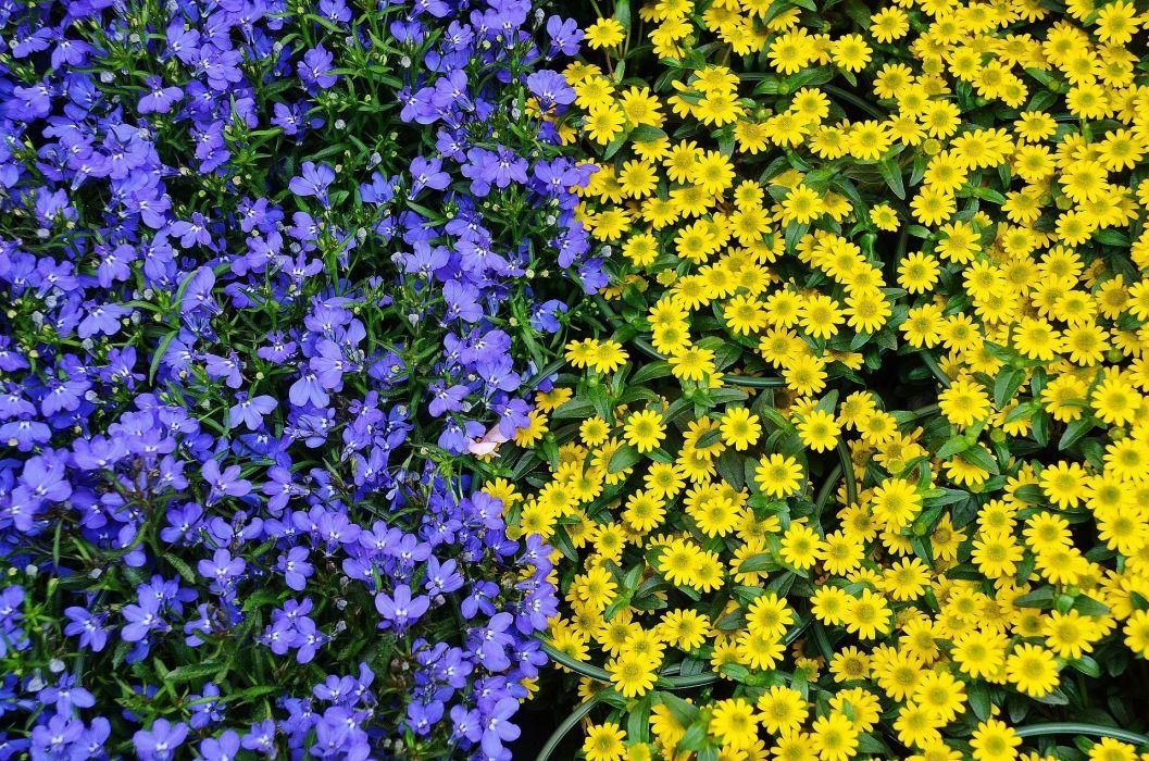Flowers Plant Nature Blue Yellow Flora Colours wallpaper