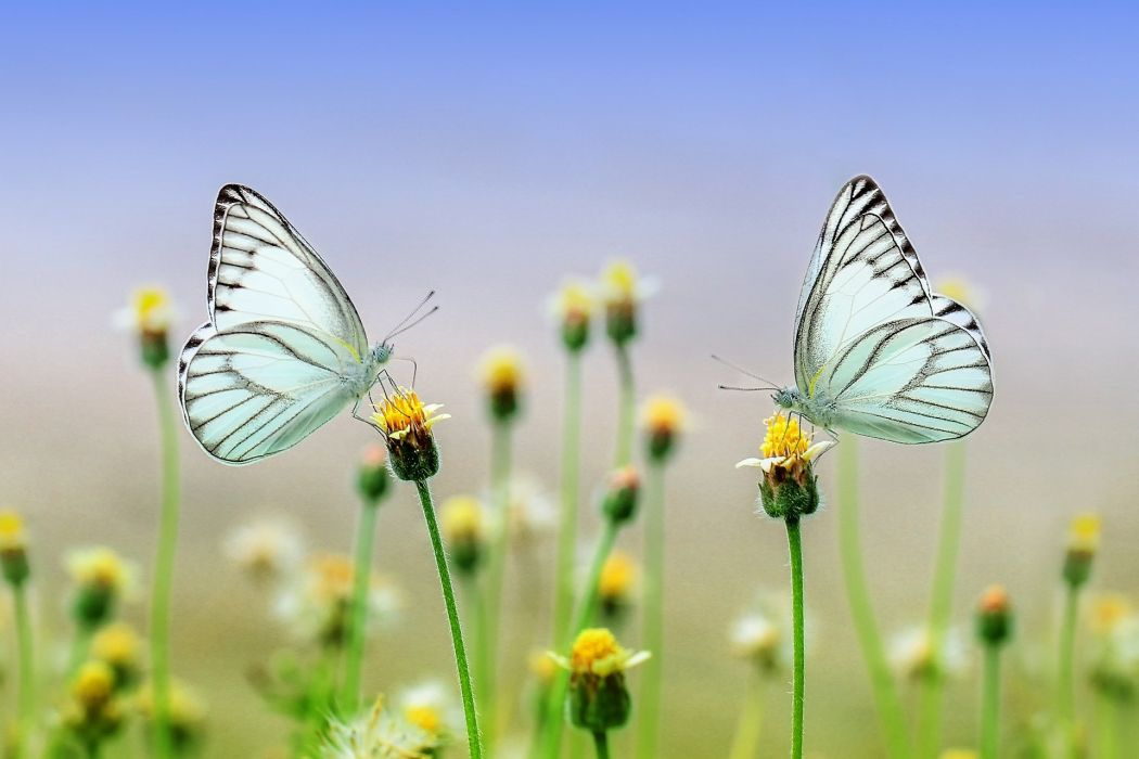 Butterfly Insect Macro Animal Nature Spring wallpaper